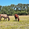 Four in the Field - Will's Horses