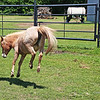 Miniature Horse kicking up heels