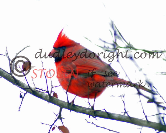 -Kranch1210-337 cardinal