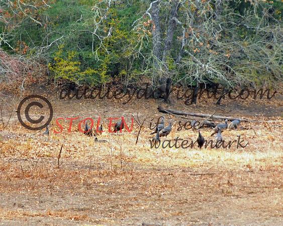 -KRanch1210-289 turkey hens