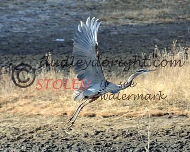 -KRanch1210-365 blue heron