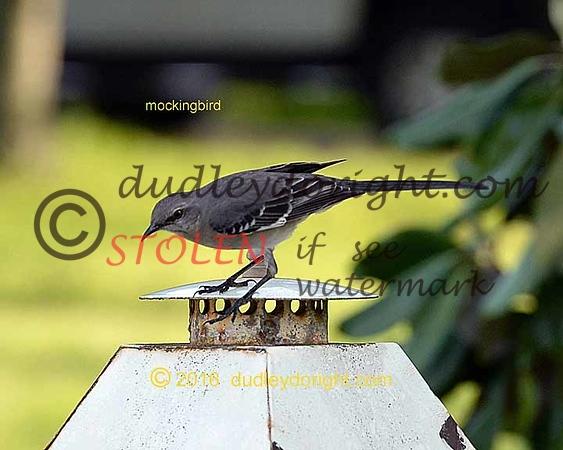 Birds2016-022 mockingbird 8x10 lr