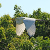 Great White Egret - Flying