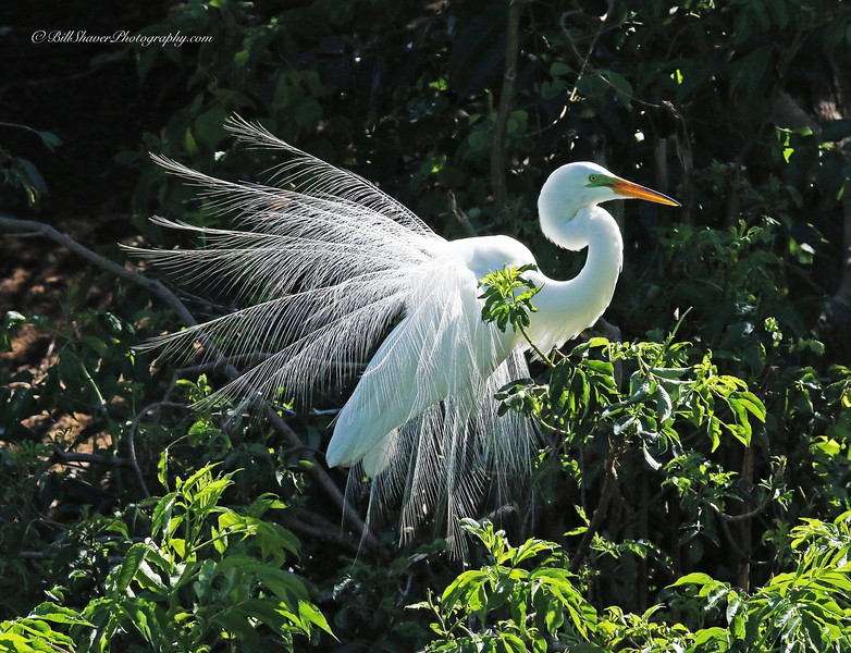 Great Egret (displaying Tail Feathers)