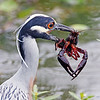 Yellow-crown Night- Heron