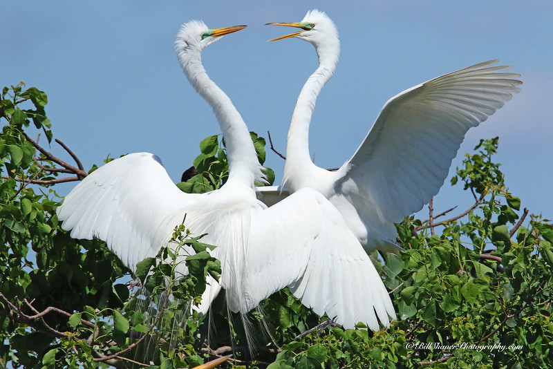 Great Egret  (Breeding Ritual)