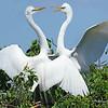 Great Egret  (Breeding Ritual)