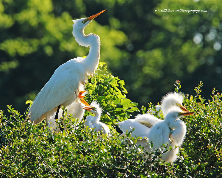 Great Egret (Mom & Babies)