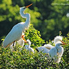 Great Egret (Mom & Babies)