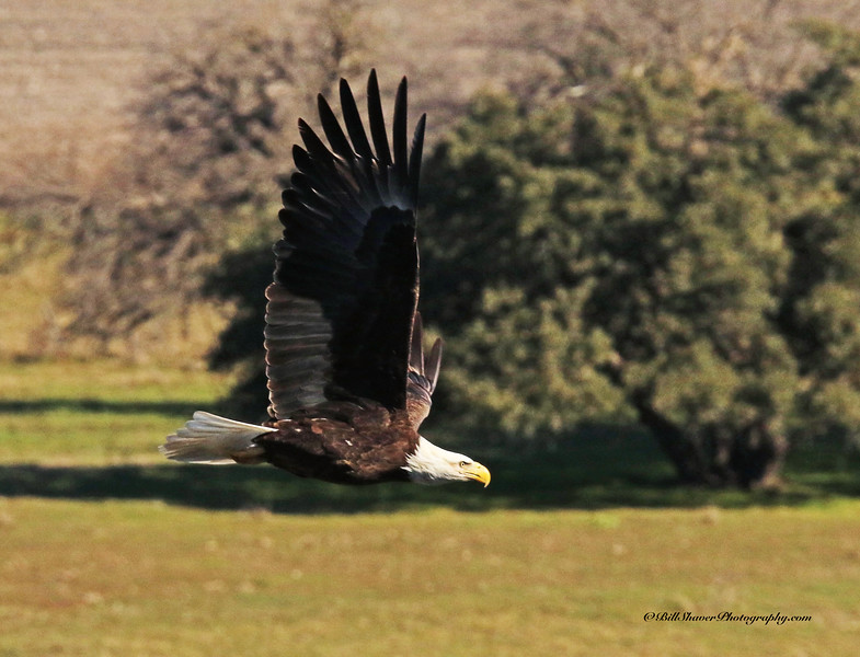 American Bald Eagle  (16-12)