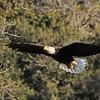 American Bald Eagle   (16-4)