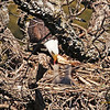 Mother Eagle feeding Babies   (16-8)