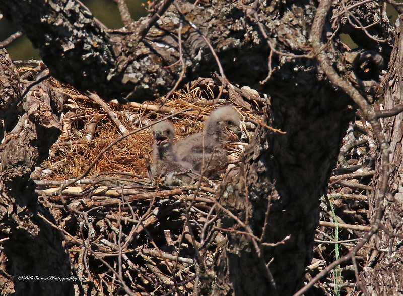 American Bald Eagle - Babies  (16-14)