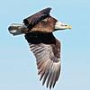 Juvenile Eagle 2017/2