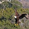 American Bald Eagle  (16-3)