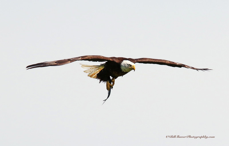 Eagle with fish  (16-16)
