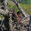 Eaglet twins ready to leave the nest.  (16-18)