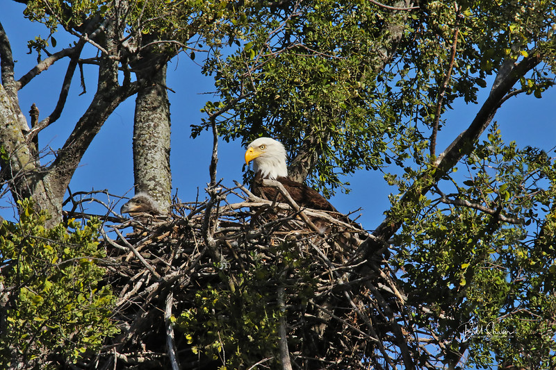 Dad Eagle and Son enjoying the nest.