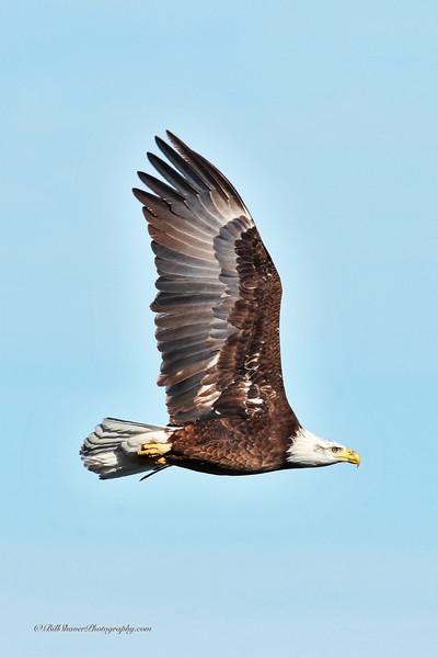 Juvenile Eagle 2017/1