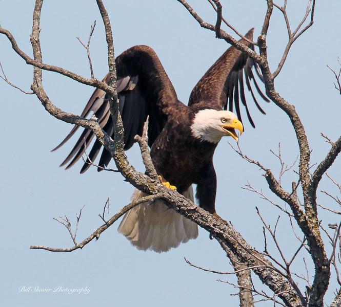 American Bald Eagle  (15-1)