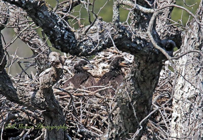 American Bald Eagle Babies
