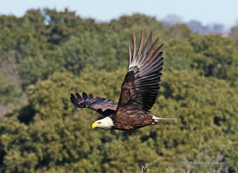 American Bald Eagle  (16-2)