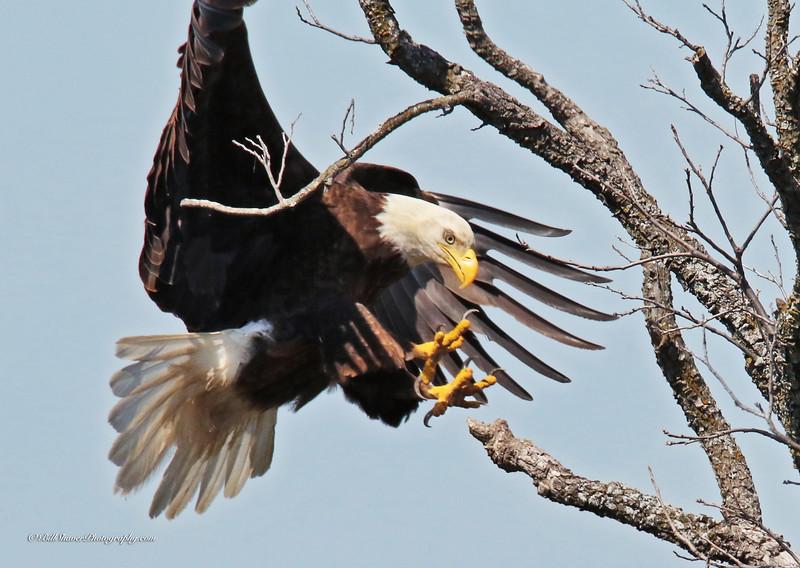 American Bald Eagle  (15-2)