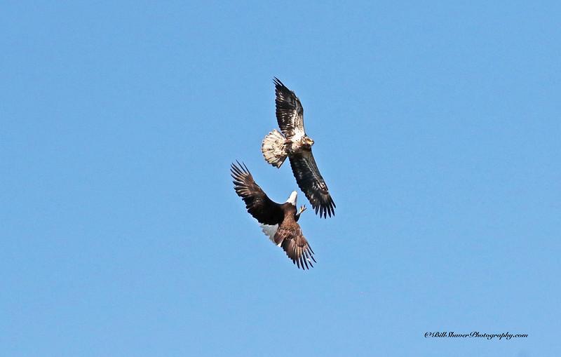 Adult and Juvenile Eagle - Combat (16-11)