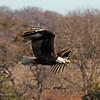 American Bald Eagle  (16-5)