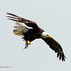 Eagle with a fish  (16-17)