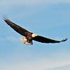 American Bald Eagle  (15-4)