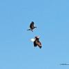 Adult and Juvenile Eagle - Combat (16-10)