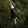 Eagle facing Heaven