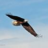American Bald Eagle  (15-3)