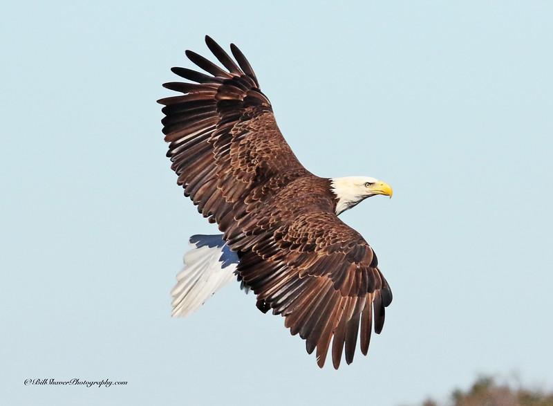 American Bald Eagle   (16-7)