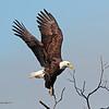 American Bald Eagle 16-15