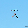 Adult and Juvenile Eagle - Combat  (16-9)