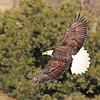 American Bald Eagle  (16 -1)