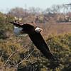 American Bald Eagle   (16-6)