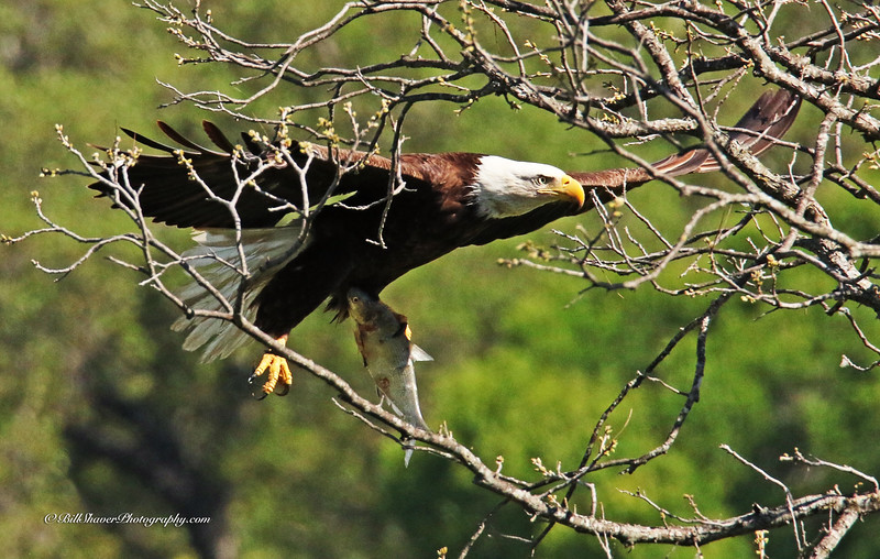 Eagle with a fish