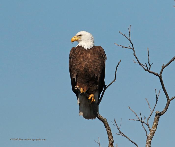 American Bald Eagle  (16-13)