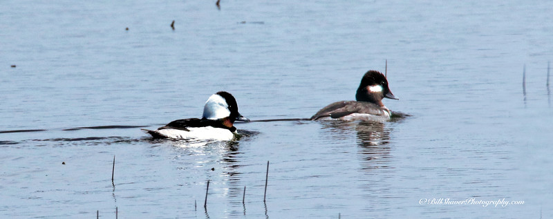 Bufflehead Duck (Male & Female)