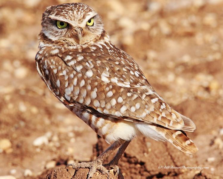 Burrowing Owl - 2014
