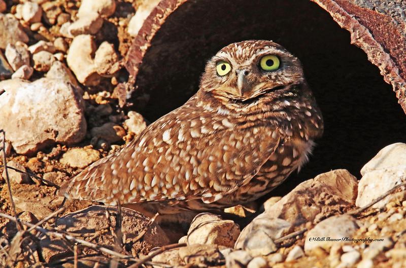 Burrowing Owl - 2015 (1)