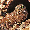 Burrowing Owl - 2015 (1)