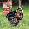 Turkey  (a male looking for a mate)