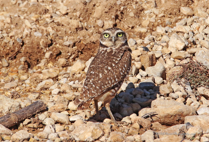 Burrowing Owl - 2015 (2)