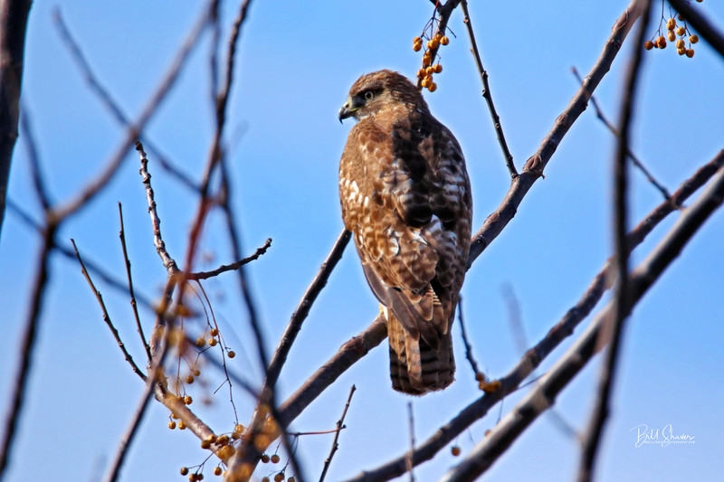 Hawk at the Wetlands