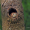 Eastern Screech-Owl  (Adult Red Morph)