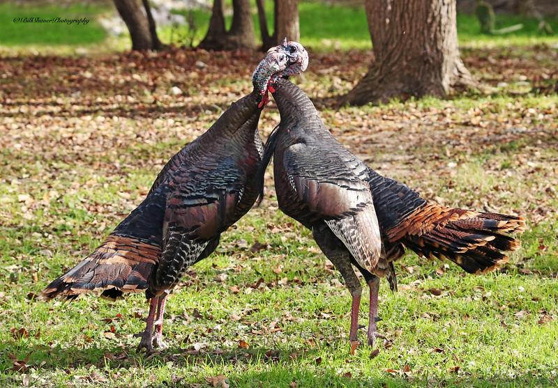 Turkey Fight (1)